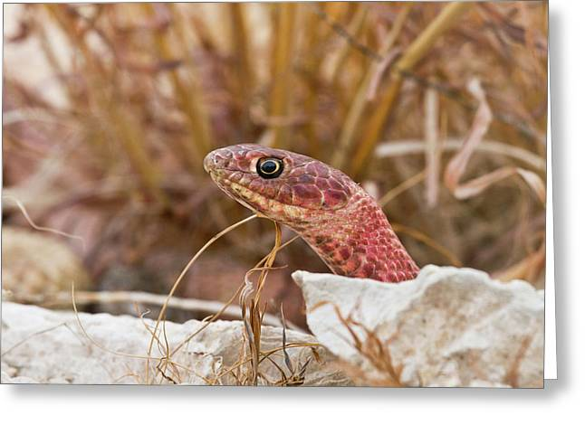 Western Coachwhip (masticophis Flagellum Greeting Card by Larry Ditto