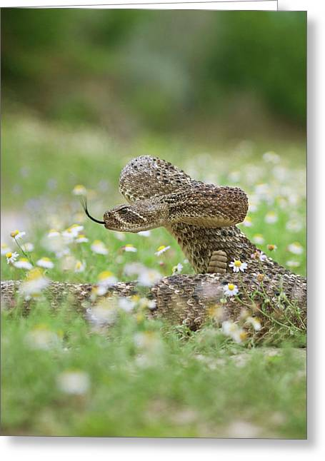 Western Diamondback Rattlesnake Greeting Card by Larry Ditto