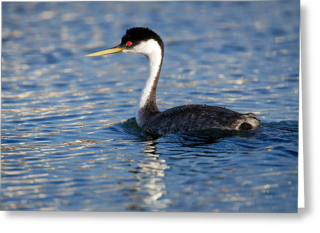 Greeting Card featuring the photograph Western Grebe by Jack Bell
