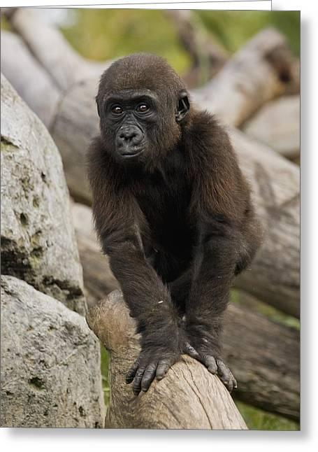 Western Lowland Gorilla Baby Greeting Card by San Diego Zoo