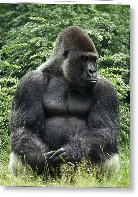 Western Lowland Gorilla Male Greeting Card