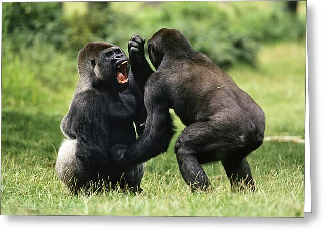 Western Lowland Gorilla Males Fighting Greeting Card by Konrad Wothe