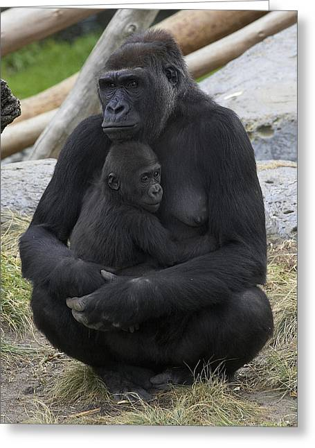 Western Lowland Gorilla Mother And Baby Greeting Card