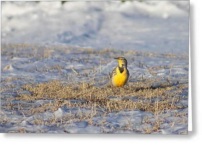 Western Meadowlark Greeting Card by Alan Hutchins