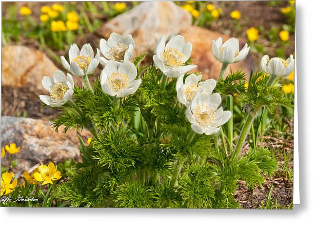 Greeting Card featuring the photograph Western Pasqueflower And Buttercups Blooming In A Meadow by Jeff Goulden