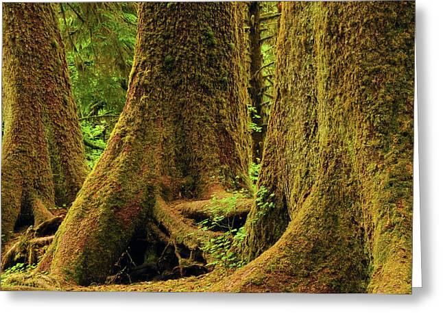 Western Red Cedar, Hoh Rain Forest Greeting Card by Michel Hersen