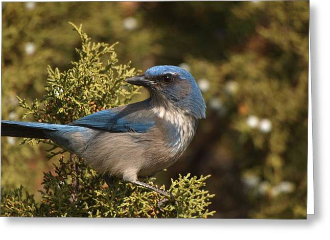 Western Scrub Jay Greeting Card by James Peterson