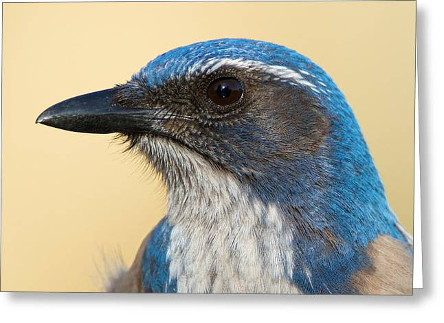 California Scrub-jay Greeting Card