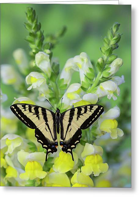 Western Tiger Swallowtail Butterfly Greeting Card