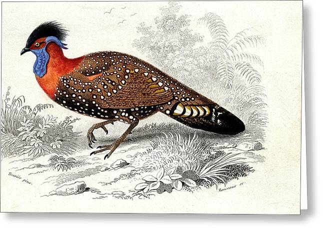 Western Tragopan Greeting Card by Collection Abecasis
