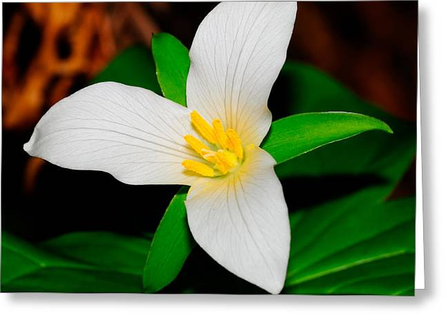 Western White Trillium Greeting Card