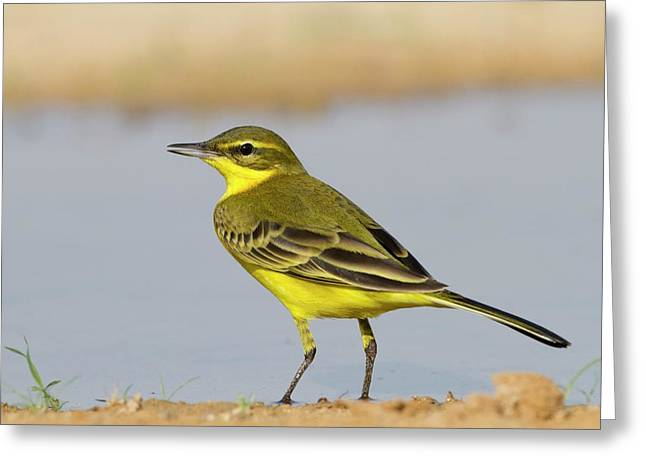 Western Yellow Wagtail (motacilla Flava) Greeting Card by Photostock-israel
