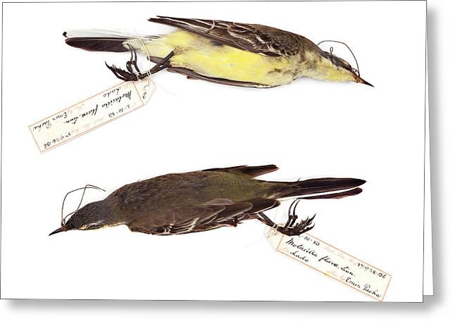 Western Yellow Wagtail Greeting Card by Natural History Museum, London