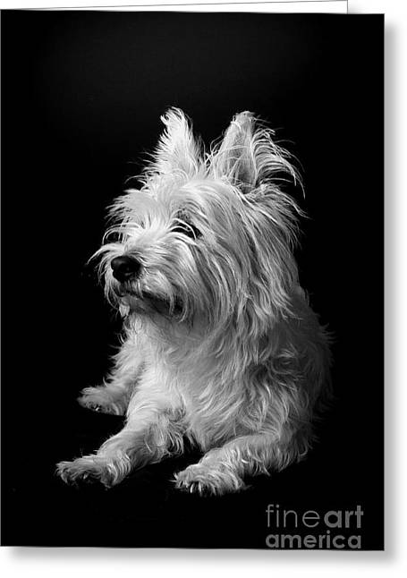 Westie II Greeting Card by Catherine Reusch Daley