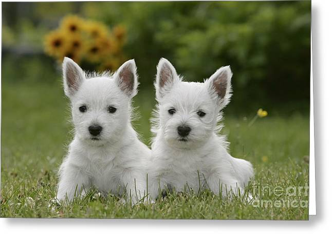 Westie Puppies Greeting Card by Rolf Kopfle