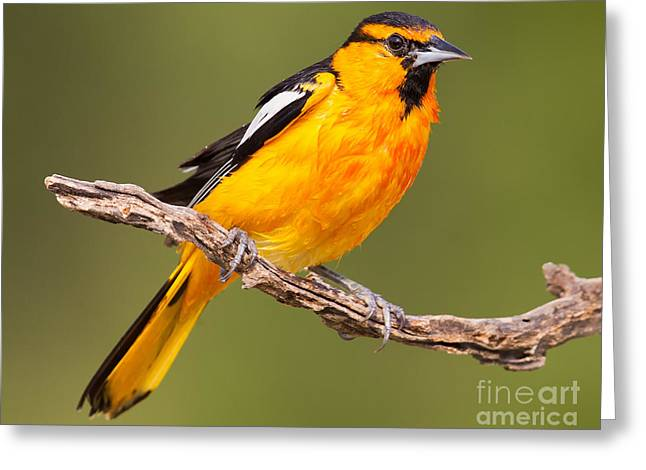 Wet Bullock's Oriole Greeting Card by Jerry Fornarotto