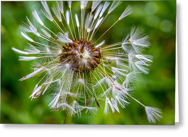 Wet Dandelion. Greeting Card
