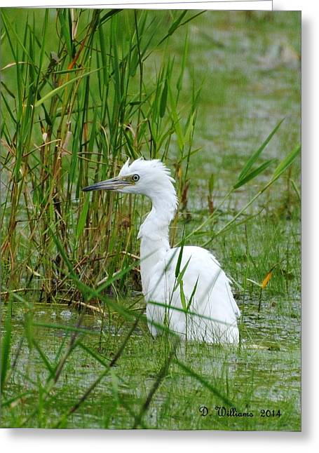Wet Juvenile Little Blue Heron Greeting Card