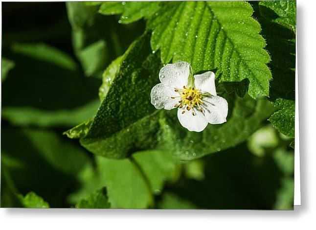 Wet Strawberry Flower - Featured 3 Greeting Card by Alexander Senin