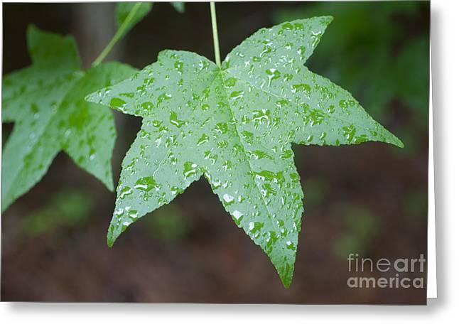 Wet Sweetgum Leaf Greeting Card by Jonathan Welch