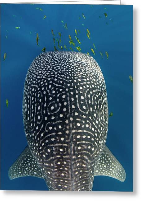 Whale Shark And Golden Trevally Greeting Card by Pete Oxford
