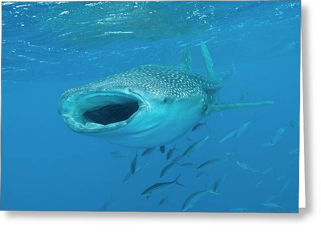 Whale Shark Swimming With Mouth Open Greeting Card