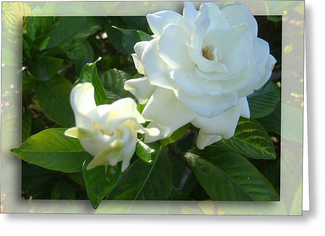 Whats So Special About White Flowers Greeting Card by Ginny Schmidt