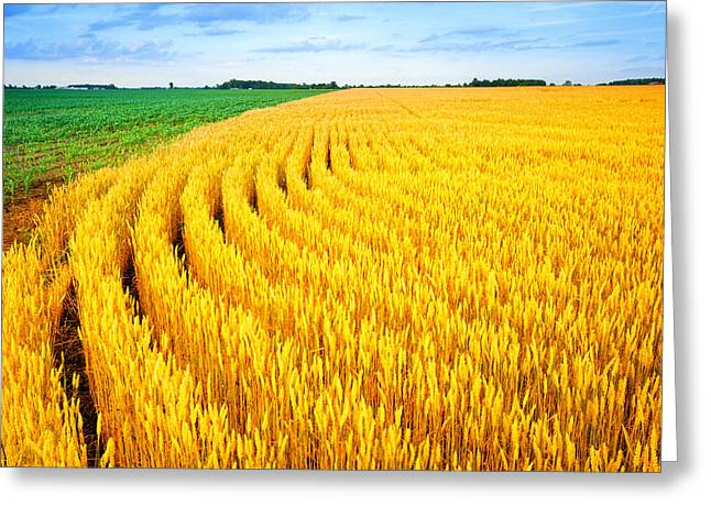 Wheat And Corn Greeting Card by Alexey Stiop