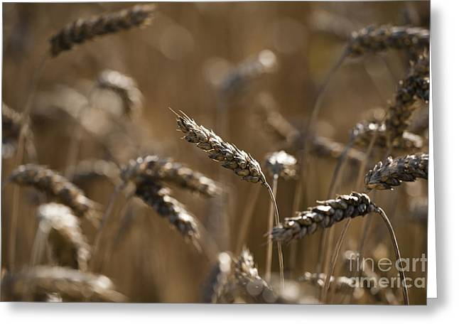 Wheat Greeting Card by Anne Gilbert