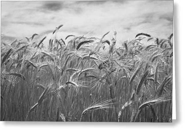Wheat Crop Growing In A Field, Palouse Greeting Card by Panoramic Images