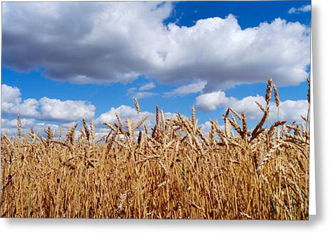 Wheat Crop Growing In A Field Greeting Card by Panoramic Images
