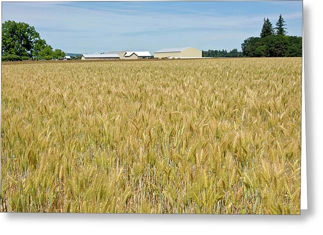 Wheat Field In The Willamette Valley Greeting Card by Panoramic Images