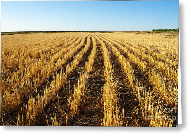 Wheat Field Greeting Card