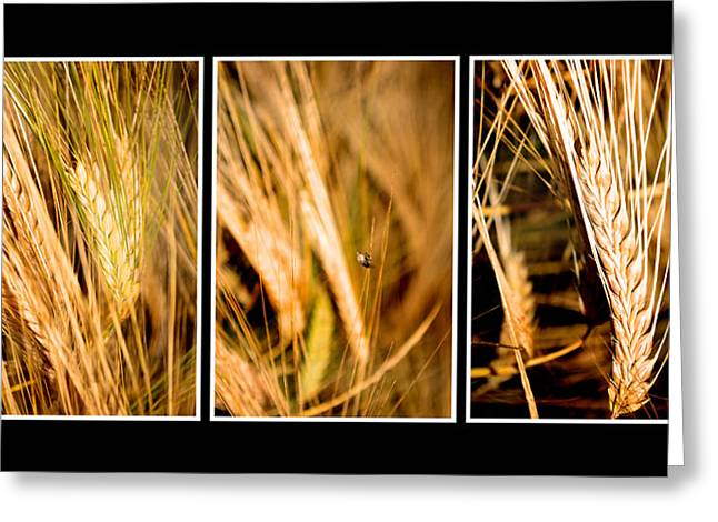 Wheat Fields In Series Of Three Greeting Card
