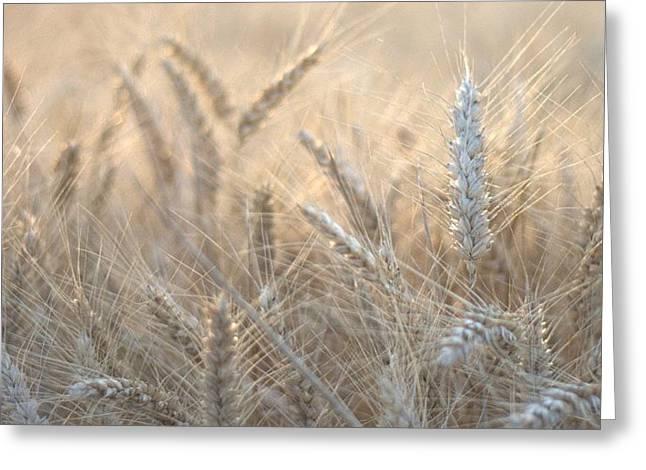 #wheat #france #rsa_ladies #rsa_nature Greeting Card