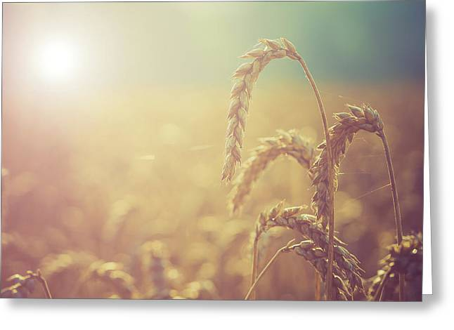 Wheat Growing In The Sunlight Greeting Card by Wladimir Bulgar