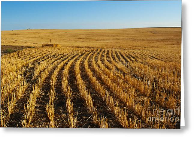 Wheat Rows Greeting Card