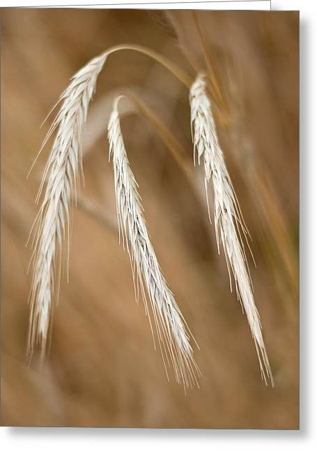 Wheat Spikelet Greeting Card by Tony Camacho
