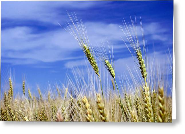 Greeting Card featuring the photograph Wheat Trio by Keith Armstrong