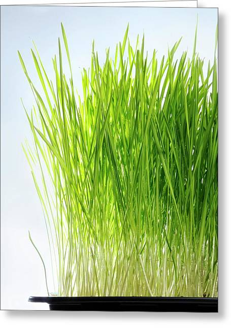 Wheatgrass Growing In A Tray Greeting Card by Cordelia Molloy
