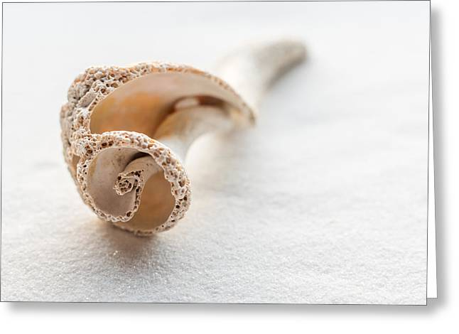 Whelk Shell New Jersey Beach Greeting Card by Terry DeLuco