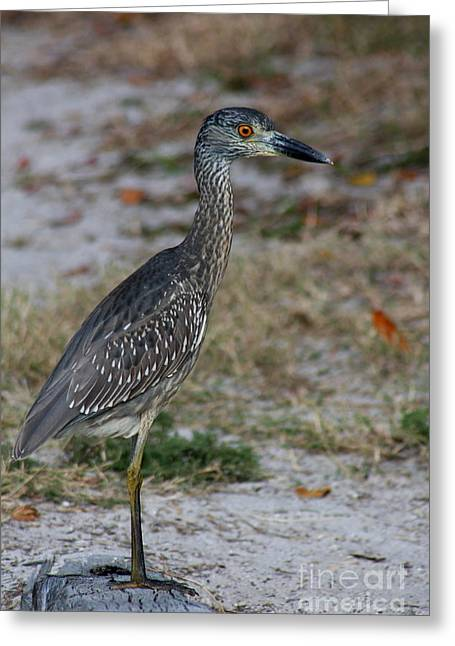 Where Is Mom - Yellow Crowned Night Heron Greeting Card by Christiane Schulze Art And Photography