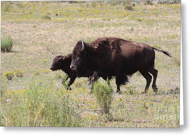 Where The Bison Roam Greeting Card by Ruth Jolly