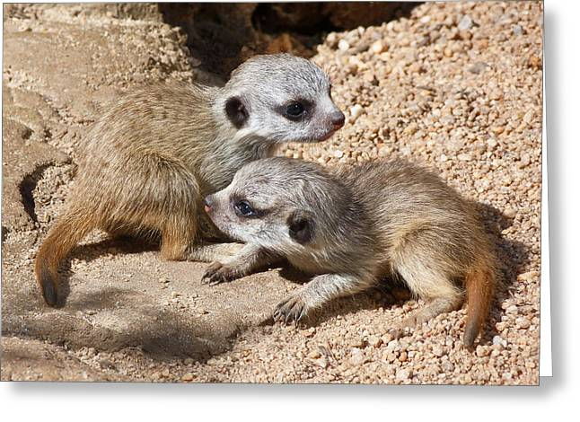 Which Way Now - Baby Meerkats Greeting Card by Margaret Saheed