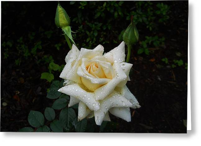While The Dew Is Still On The Roses Greeting Card by Jeff Moose