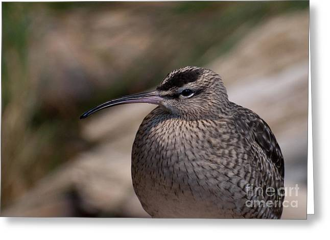 Greeting Card featuring the photograph Whimbrel by Bianca Nadeau