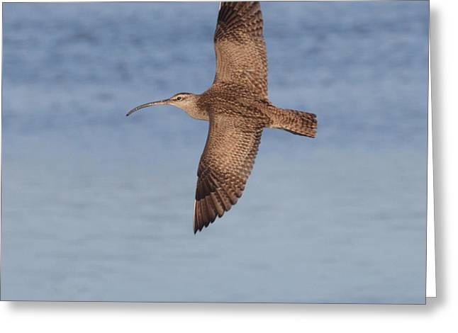 Whimbrel In Flight Greeting Card by Ruth Jolly