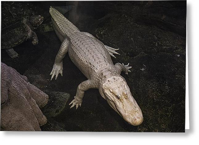 White Alligator Greeting Card by Garry Gay