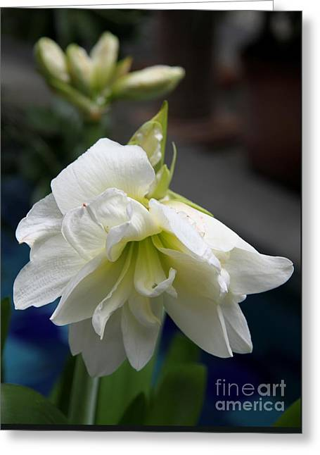 White Amarillys And Buds Greeting Card