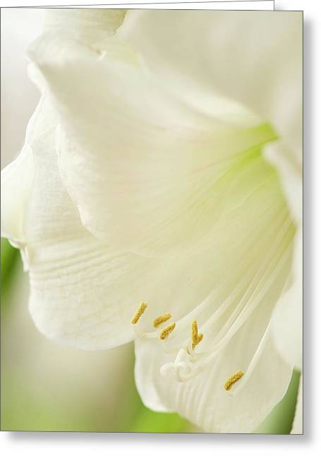 White Amaryllis (hippeastrum) Greeting Card